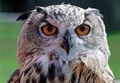 بزرگترین گونه جغد عقابی ایران از مرگ نجات یافت