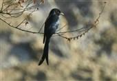 """مشاهده """"بوچانگای خاکستری """" پرنده کمیاب ایران در تنگ تکاب بهبهان"""