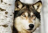 حمله گرگها به برخی روستاهای گناباد؛ مسئولان: محل نگهداری دامها را حصارکشی کنید!