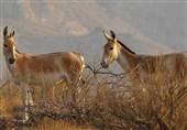 سمنان| وقتی امیدها برای احیای گورخر ایرانی زنده میشود؛ جمعیت 150 رأسی گورهای تورانی