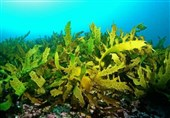 Climate Change Could Lead to Declines of Underwater Kelp Forests: Study