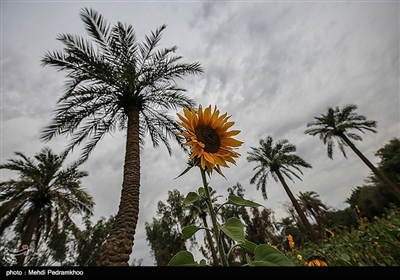 حقول دوار الشمس فی الاهواز