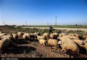 منشأ تلف شدن گوسفندان در مرودشت بررسی میشود
