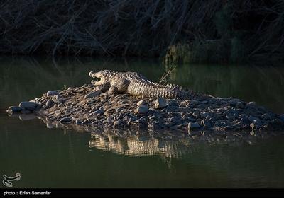 این حیوان بزرگترین خزنده در هر دو کشور به حساب میآید که طی ۶۵ میلیون سال گذشته تغییرات کمی کرده است