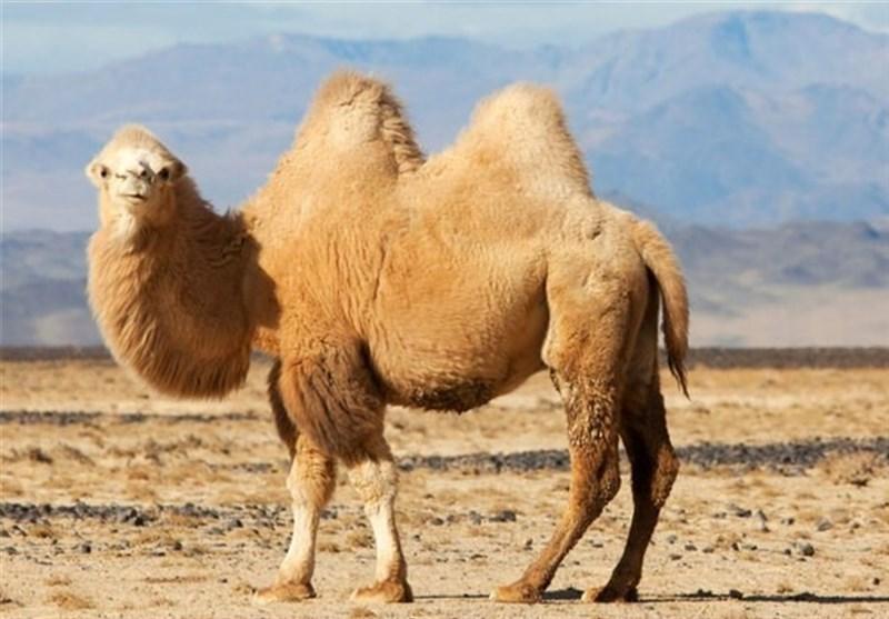 استفاده از فضولات شتر برای تولید سیمان در امارات