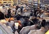 قاچاق دام زنده در لرستان افزایش یافت؛ تشدید اقدامات نظارتی