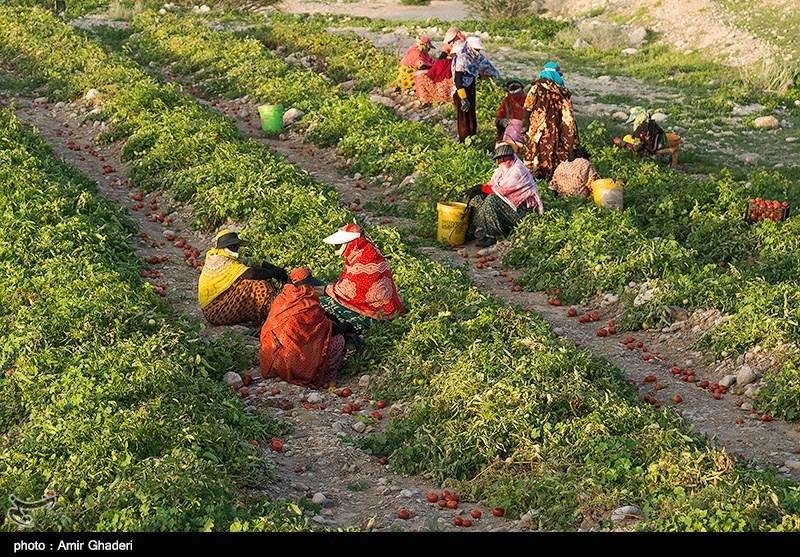 روستای چاه ماخور از توابع بندر خمیر استان هرمزگان از مناطق عمده تولید گوجه فرنگی محسوب میشود