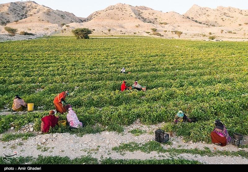 سطح زیر کشت گوجه فرنگی در هرمزگان در سال زراعی جاری بدلیل اجرای طرح اصلاح الگوی کشت و استفاده بهینه از منابع آبی حدود ۲۰ درصد نسبت به سال گذشته کاهش یافته است.