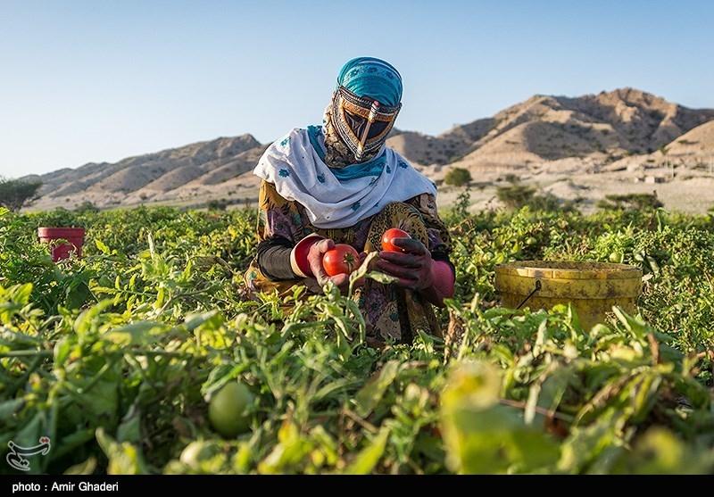 زنان روستا دوشادوش مردان در چیدن گوجه ها شریک اند و کارمیکنند