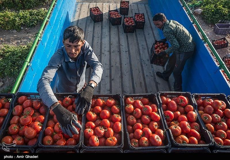 برداشت روزانه 150 تن گوجهفرنگی در ارومیه