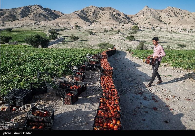 """بیشترین ارقام گوجه فرنگی کشت شده، شامل """"سان سید""""، """"کومودرو""""، """"رویان"""" و """"ورونا"""" است که به منظور تازه خوری به تهران، رشت، مازندران، تبریز و مشهد که از بازار های عمده هدف محسوب میشوند، عرضه میگردد."""
