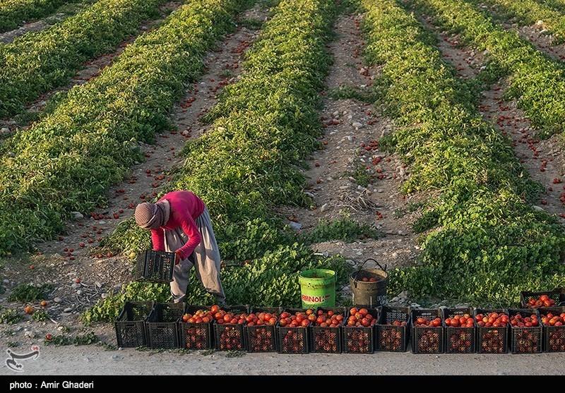 565 هزار تن محصول گوجه فرنگی در استان بوشهر تولید میشود