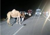 5 کشته حاصل تصادف با شتر در جاده زاهدان_میرجاوه