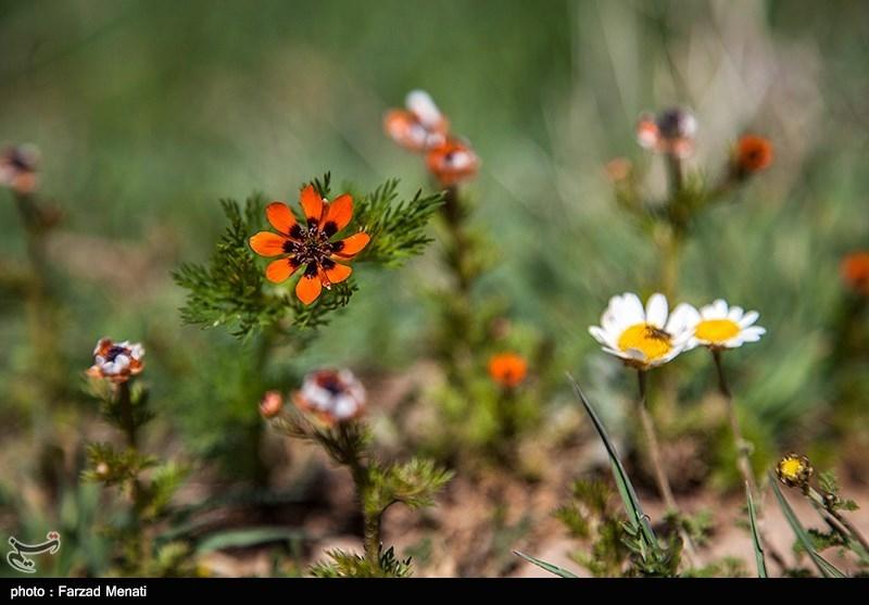 شکوفه های زمستانی - کرمانشاه