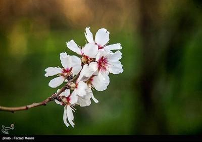 تفتّح براعم الأشجار.. بشارة تدل على قدوم فصل الربیع