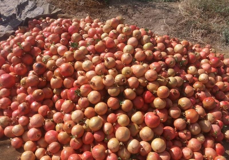 اقدامی ارزشمند در یزد برای حمایت از کشاورزان؛ خرید توافقی انار مازاد باغداران و قطع دست دلالان