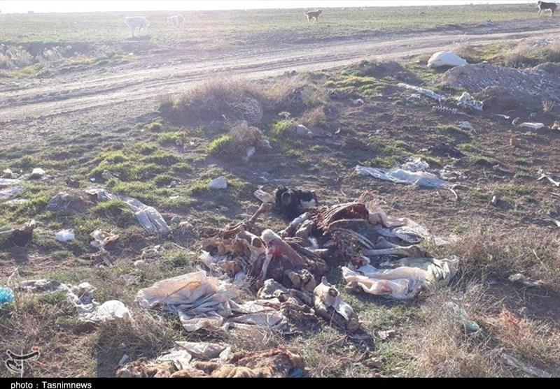 لاشه گاوهای بیمار در تعلل مسئولان استان مرکزی در بیابان رها میشود