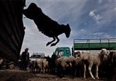 پشت پرده قاچاق دام ـ 2| داستان پُرماجرای قاچاق دام زنده از مرزهای استان ایلام / گوسفندهایی که مسافر فرنگ میشوند + فیلم