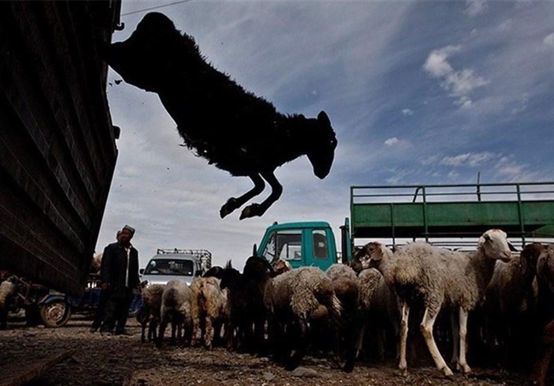 قاچاق در کهگیلویه و بویراحمد به گوسفند رسید