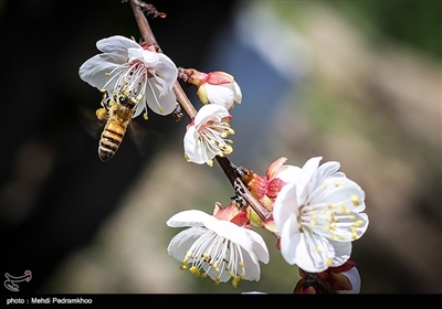 شکوفه های درخت زردآلو در باغات بهبهان