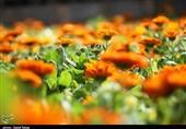 بجنورد| گلهای بهاری به استقبال مسافران نوروزی میروند+تصاویر