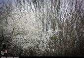 گلستان| شکوفههای زیبای بهاری در آستانه سال نو+ تصاویر