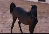 سرقت اسب به خاطر تخریب زمین کشاورزی!