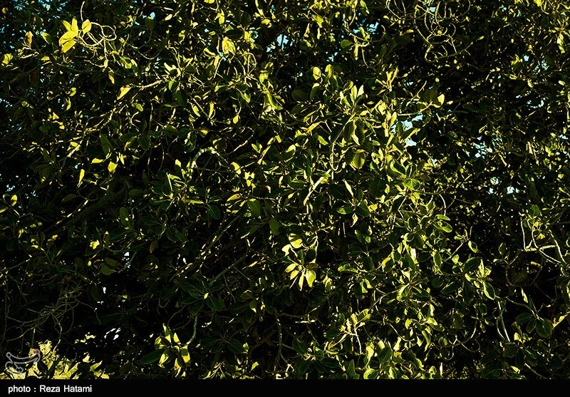 در سراسر جزیره درختان «لیل/ لور» یا انجیر معابد توانستهاند با انطباق خود با ویژگیهای اقلیمی رشد کنند. این درختان بسیار بزرگ و پرسایه که دارای ریشههای هوازی هستند در سراسر جزیره به فراوانی دیده میشوند. ریشههای این درخت از خاک بیرون آمده و با پیچیدن بر تنه درخت از آن بالا رفته و دگرباره از شاخههای آن آویزان شدهاند.