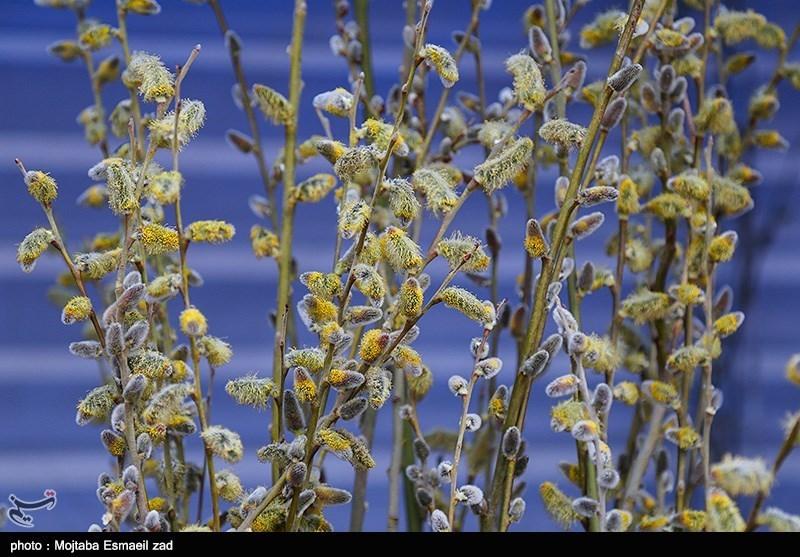صادرات عرق بیدمشک از آذربایجان غربی از خلیج فارس تا قاره سبز +تصاویر