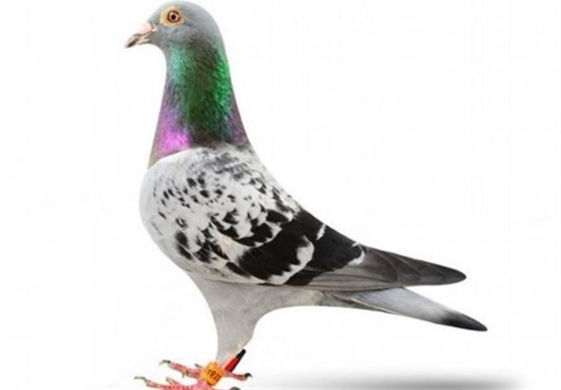 کبوتر بلژیکی 14 میلیارد تومان فروخته شد!
