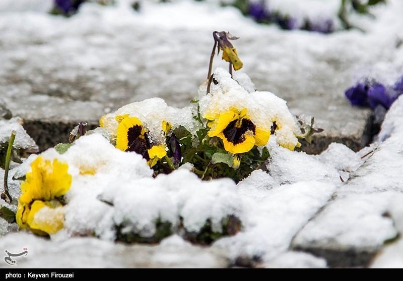بارش زیبای برف بهاری در سنندج به روایت تصویر