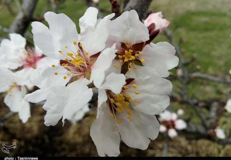 رخت سفید درختان با شکوفههای زیبای بهاری در زنجان به روایت تصاویر