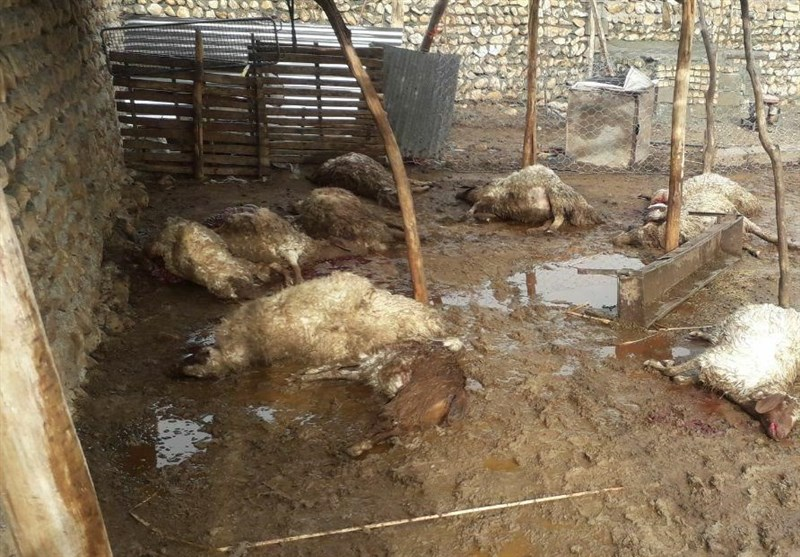 12 رأس دام و هزار قطعه طیور در مناطق سیلزده خوزستان تلف شدند