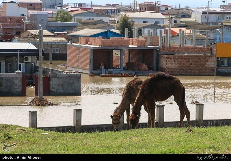 اکثر دام های مردم شهرستان آق قلا شتر هستند که اغلب از شیر آن بعنوان لبنیات استفاده میکنند