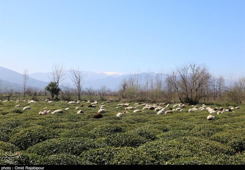 تلالو رنگها در بهار ییلاقات گیلان به روایت تصویر