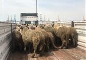 گوسفندهای دمدراز وارداتی هم شایعهساز شدند+عکس