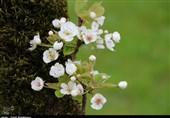 شکوفه درختان گلابی باغات گیلان به روایت تصویر