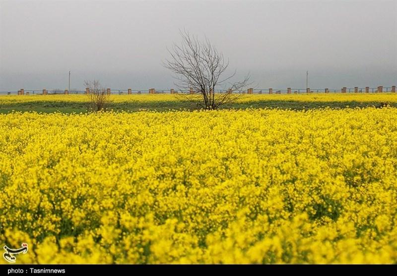 1000 هکتار از اراضی کشاورزی استان سمنان به کلزا اختصاص یافت