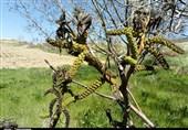 خسارت 236 میلیارد تومانی به محصولات کشاورزی فارس بر اثر سرمازدگی