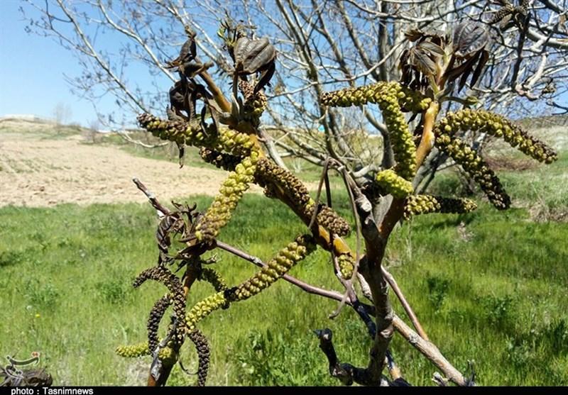 استان زنجان در شدت سرمازدگی در کشور سوم شد