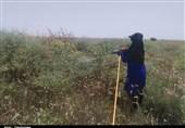 حمله گلهای ملخ صحرایی به مراتع گچساران؛ خطر تمام مناطق کهگیلویه و بویراحمد را تهدید میکند