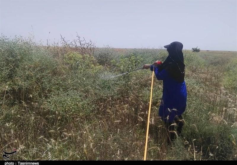 احتمال افزایش آفت سن در مزارع آذربایجانغربی به علت کاهش بارندگی