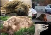 خرس دالاهو را شکارچیان کشتند نه تصادف! +فیلم