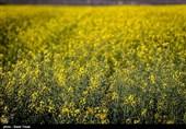 افزایش جمعیت آفت «سنک» در مزارع کلزای استان کرمانشاه؛ آفت سنک ارتباطی با بذر ندارد