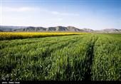 بیش از 30 درصد محصولات کشاورزی کهگیلویه و بویراحمد بیمه ندارند