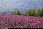 امسال حدود یک تن گل گاو زبان از مزارع استان قزوین برداشت میشود