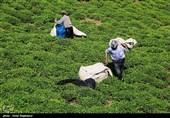 رئیس سازمان چای کشور: 95 درصد مطالبات چایکاران گیلان و مازندران پرداخت شد