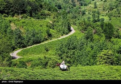"""قطاف الشاي في مزارع """"أملش"""" شمال ايران"""