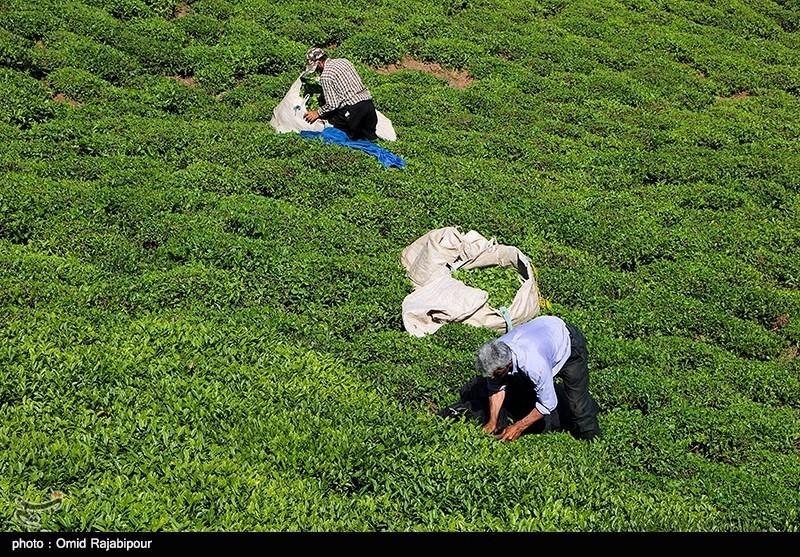 پیش بینی جهش 15 درصدی تولید چای کشور در سال 99/ چای ایرانی سمپاشی نمی شود