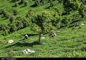 30000 تن چای خشک در 4 ماهه نخست امسال وارد کشور شد